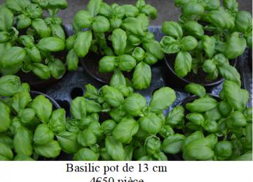 Basilic pot de 13 cm
